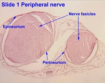 Peripheral-Nerve-Explained