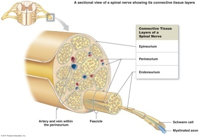Peripheral-Nerve-Diagram