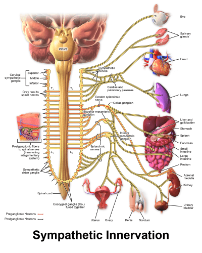 Sympathetic-Nervous-System
