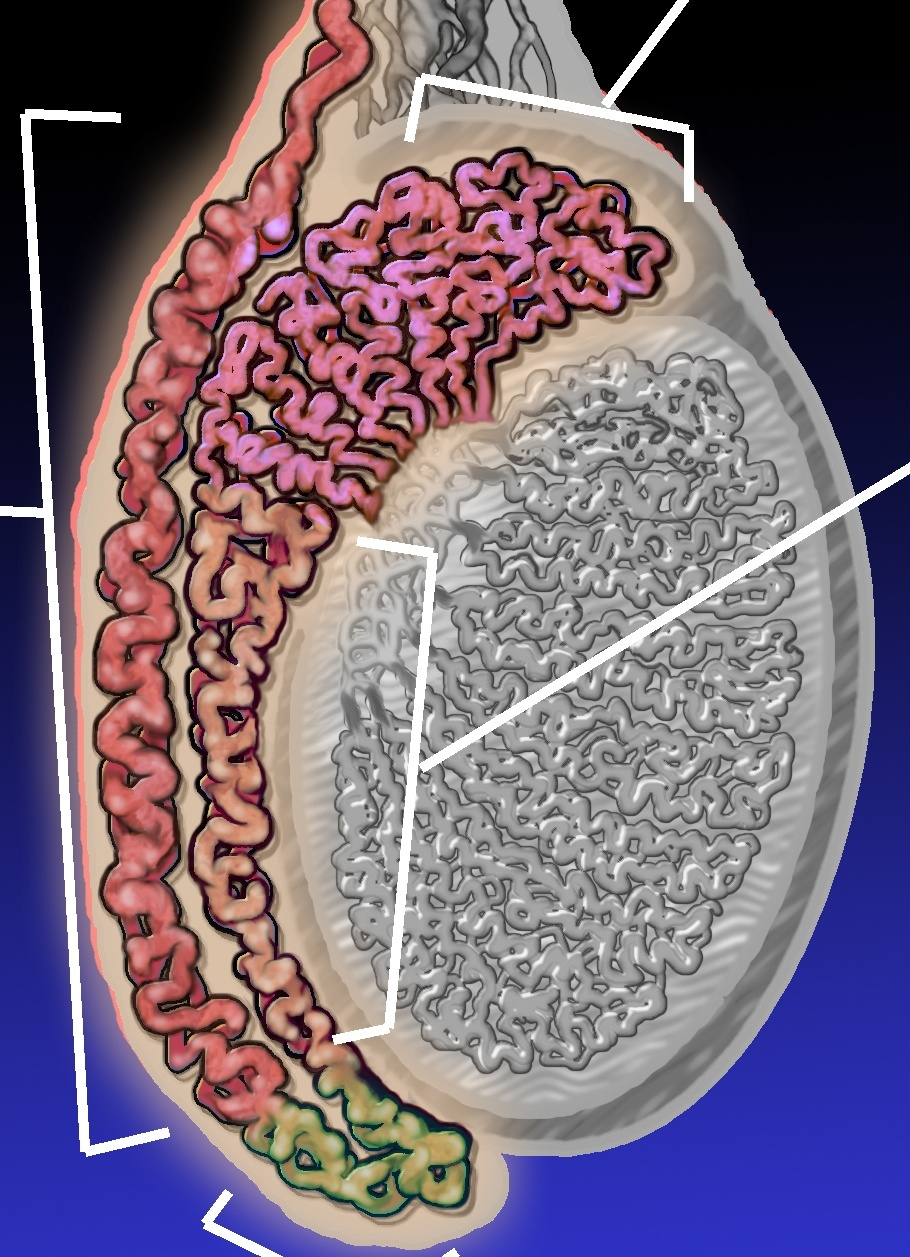 Epididymitis-Diagram
